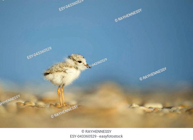 A tiny and cute Piping Plover chick stands on the beach on a sunny morning with a bright blue background