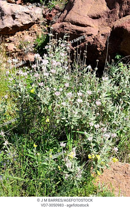 Matagallo (Phlomis purpurea almeriensis) is a shrub endemic to Andalucia. This photo was taken in Cabo de Gata Natural Park, Almeria province, Andalucia, Spain
