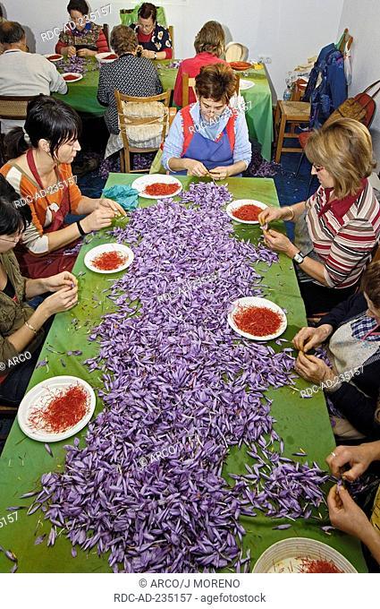 Extracting Saffron Flower stigmas, La Rosera Saffron Factory, Saffron Crocus, Motilla del Palancar, Cuenca province, Castilla-La Mancha, Spain, Crocus sativus