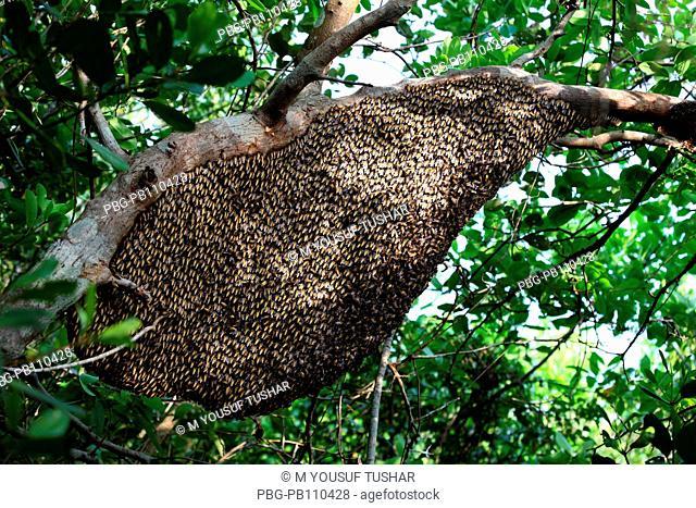 Beehive in a tree in the Sundarbans Sathkhira, Bangladesh April 2011