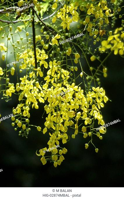 KANIKONNA CASSIA FISTULA, RELATED TO VISHU, OFFICIAL FLOWER OF KERALA