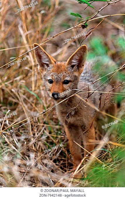 Black-Backed Jackal (Canis mesomelas) pup standing in the bush, close-up,Kruger National Park, South Africa