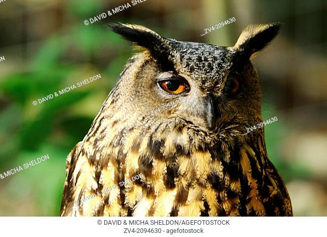 Portrait of a Eurasian Eagle-Owl (Bubo bubo) in the Bavarian Forest, Germany