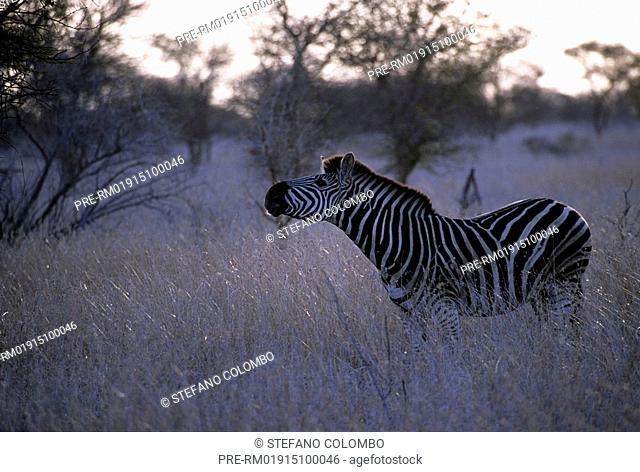 Zebra, Krüger National Park, South Africa