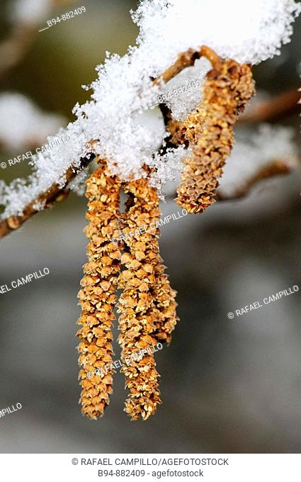 Black poplar (Populus nigra) snow-covered catkins. Osseja, Languedoc-Roussillon, Pyrenees Orientales, France