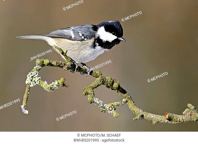 Coal tit (Periparus ater, Parus ater), sitting on a twig, Germany, Rhineland-Palatinate