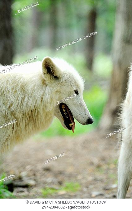 Portrait of an arctic wolf (Canis lupus arctos) standing in the forest
