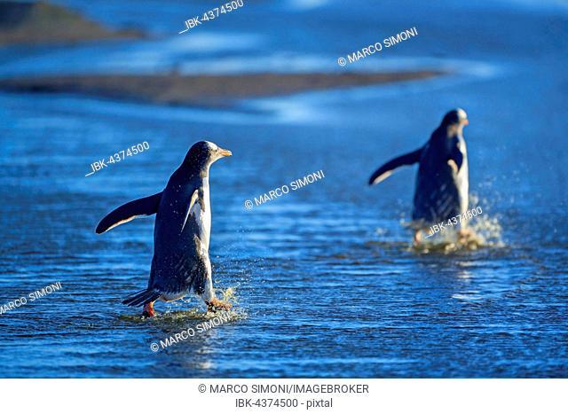 Gentoo penguins (Pygocelis papua papua) walking through water, Sea Lion Island, Falkland Islands, South Atlantic