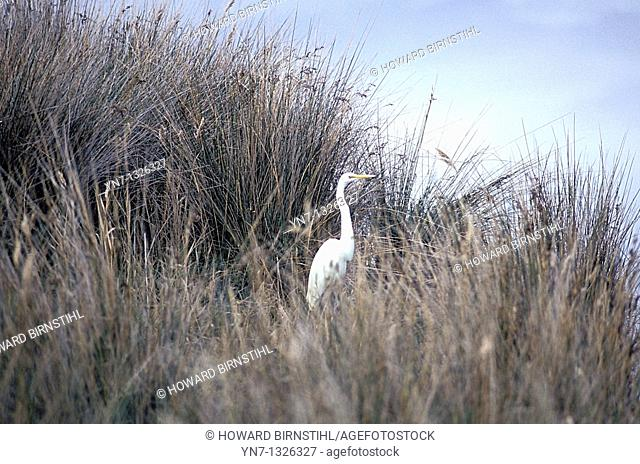 soft gentle image of white egret bird Ardea alba in long swamp grass