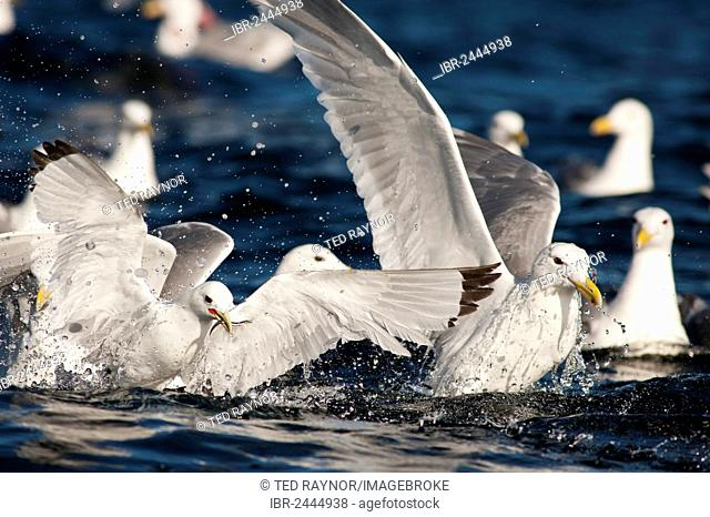 A Black-legged Kittiwake (Rissa tridactyla) feed on baitfish
