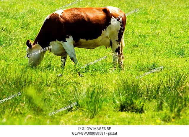 Cow grazing in a field, Loire Valley, France