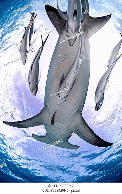 Great hammerhead shark, Alice Town, Bimini, Bahamas