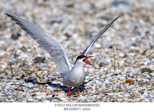 Common tern (Sterna hirundo) calling, Texel, West Frisian Islands, Netherlands