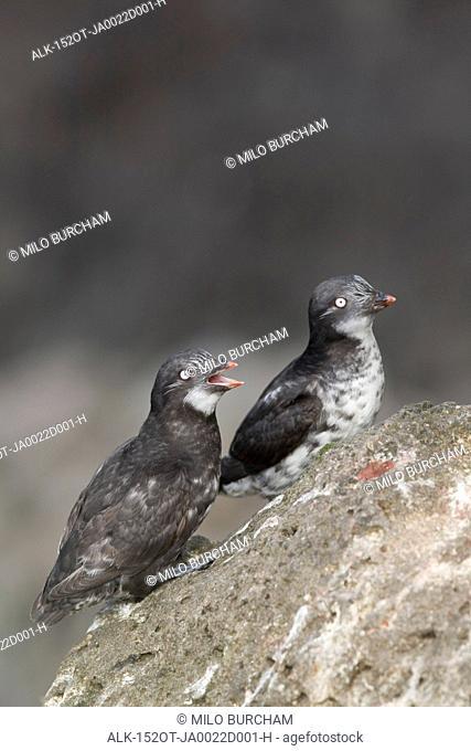 Pair of Least Auklets perched on a rock, Saint Paul Island, Pribilof Islands, Bering Sea, Southwest Alaska, Summer
