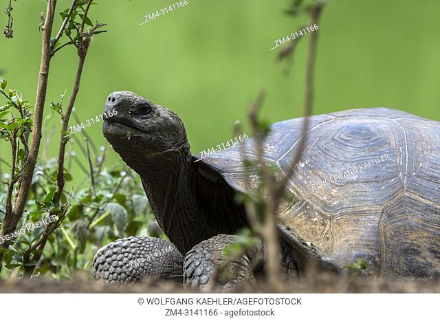 Close-up of a giant Galapagos tortoise (Geochelone elephantopus) in the highlands of Santa Cruz Island in the Galapagos Islands, Ecuador