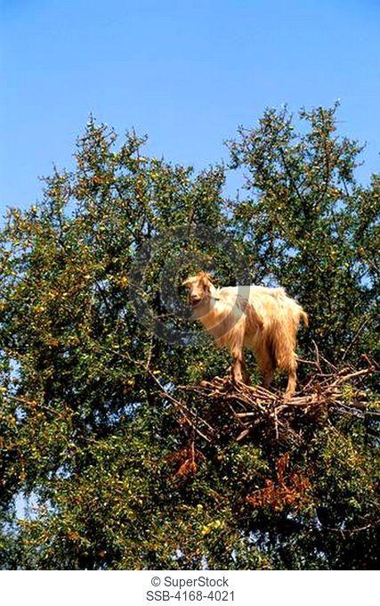 Morocco, Near Essaouira, Goat In Argan Tree, Close Up