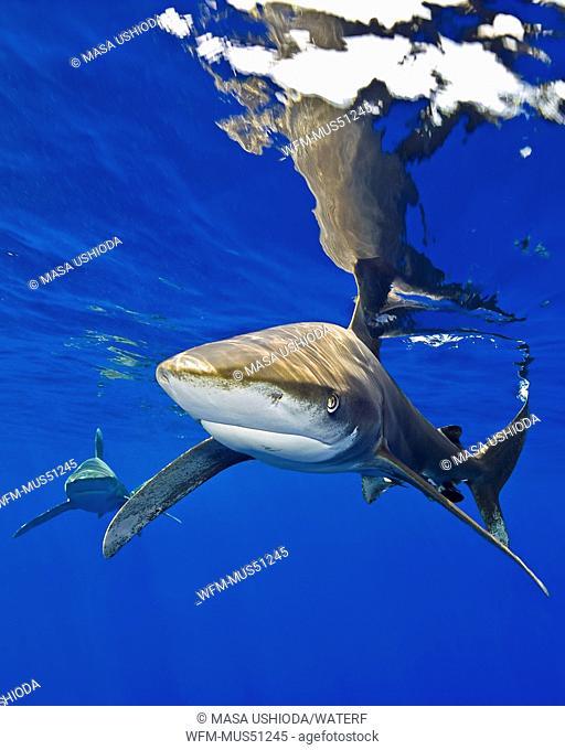 Oceanic Whitetip Shark, Carcharhinus longimanus, Kona Coast, Big Island, Hawaii, USA