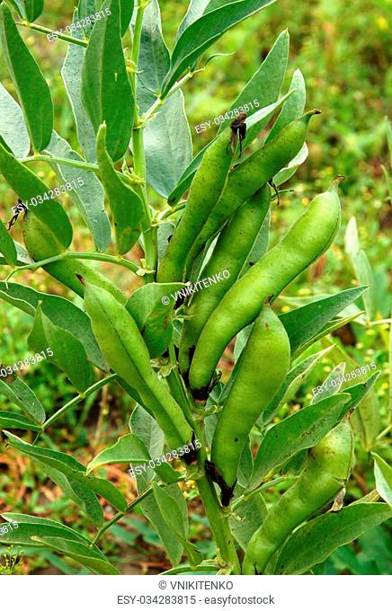 Ripening large pods of Broad beans (Vicia faba) in Vegetable Garden in summer