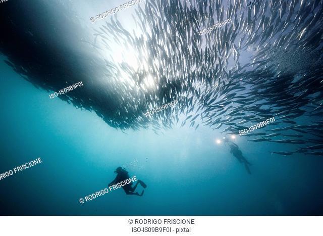 Underwater view of two scuba divers diving below shoaling jack fish in blue sea, Baja California, Mexico