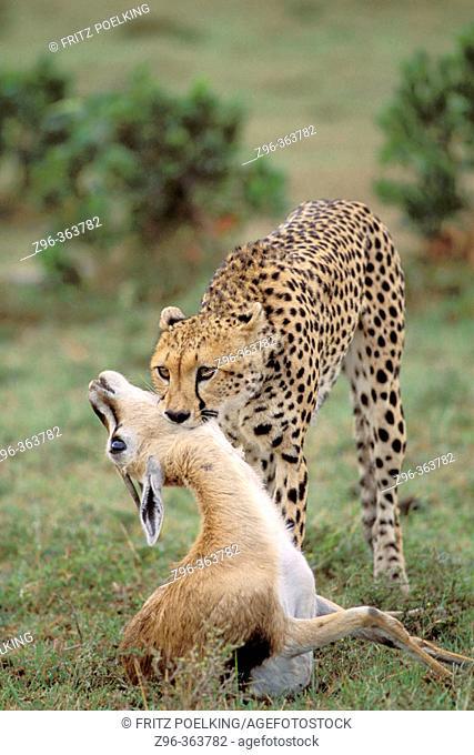 Cheetah (Acinonix jubatus) with Impala (Aepyceros melampus). Masai Mara. Kenya