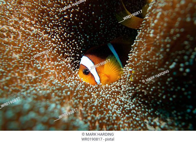 Red Sea Anenomefish Amphiprion bicinctus Red Sea