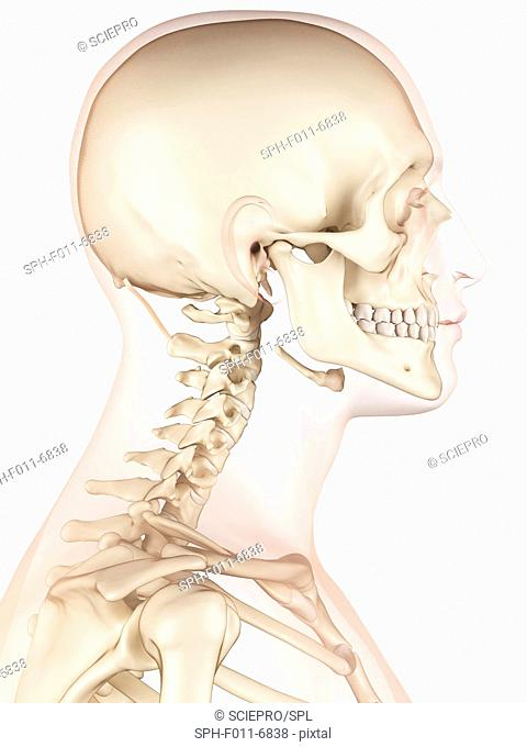 Human neck muscles, computer illustration
