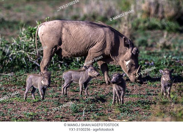 Warthog piglets eith grazing mother in Amboselli National Park, Kenya