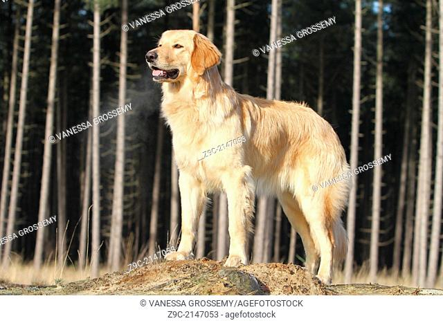 Hovawart dog / adult standing