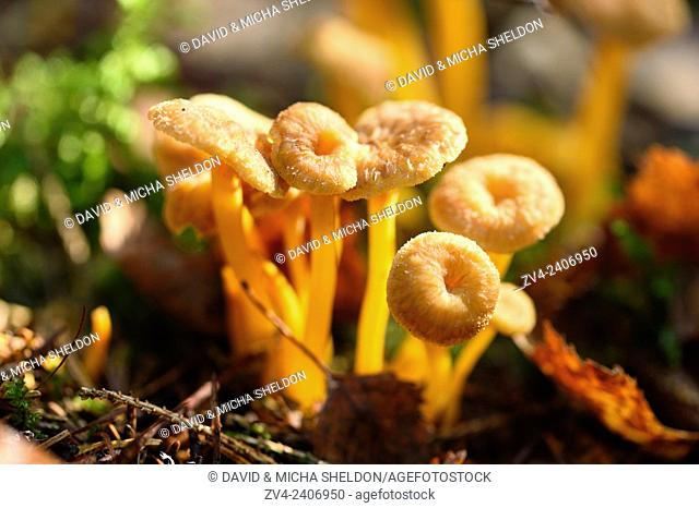 Close-up of a Yellowfoot (Craterellus tubaeformis) in forest in autumn