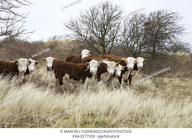 group of cows, Terschelling island, Netherlands