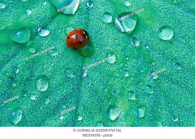 Leaf with dew drops and seven-spot ladybug