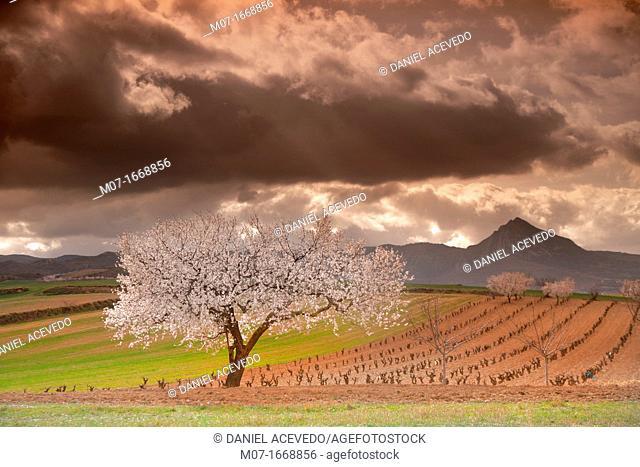 Almond trees in blossom, Laturce mountain peak. Biosfera reserve, Leza valley, Rioja wine region, Spain