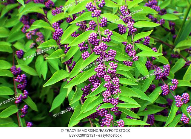 Close up of purple berries of the Beautyberry, a deciduous shrub
