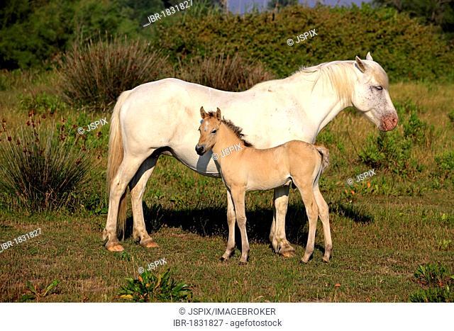 Camargue horse (Equus caballus), mare and foal, Saintes-Marie-de-la-Mer, Camargue, France, Europe