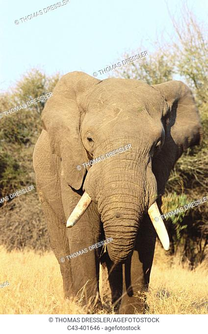 African Elephant (Loxodonta africana). Feeding bull. Kruger NP. South Africa