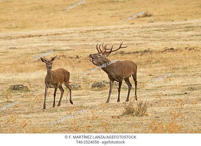 Red deers Cervus elaphus. Parque Nacional de Monfragüe. Extremadura. Spain