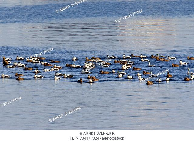 Common eiders (Somateria mollissima) flock with females and males in breeding plumage swimming at sea in winter