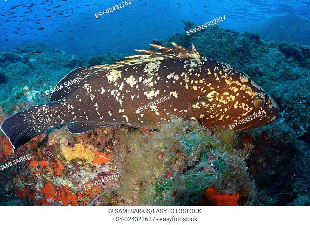 Dusky Grouper (Epinephelus Marginatus), Port-Cros, France, Europe