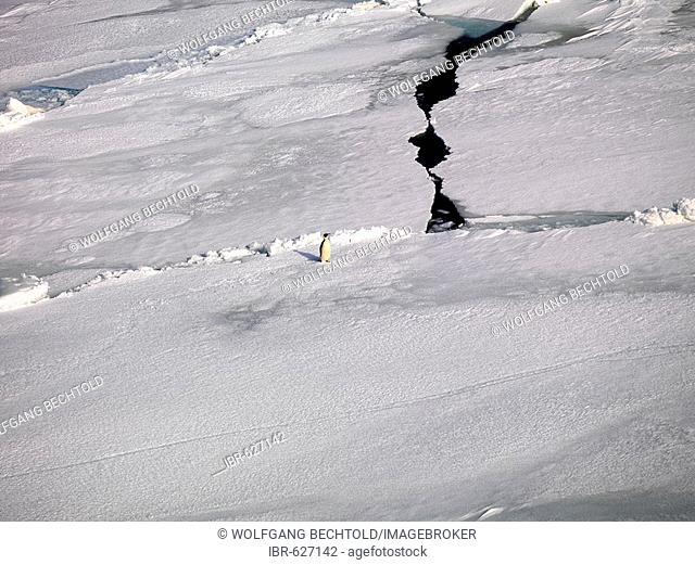 Emporer Penguin (Aptenodytes forsteri) walking over sea ice off the coast of Franklin Island, Antarctica