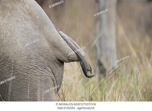 Asia, India, Uttarakhand, Jim Corbett National Park, Asian or Asiatic elephant (Elephas maximus), one animal in the grassland, Detail of the tail