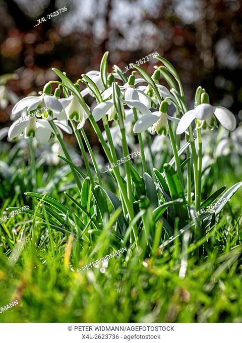 Snowdrops blooming in spring, Galanthus nivalis