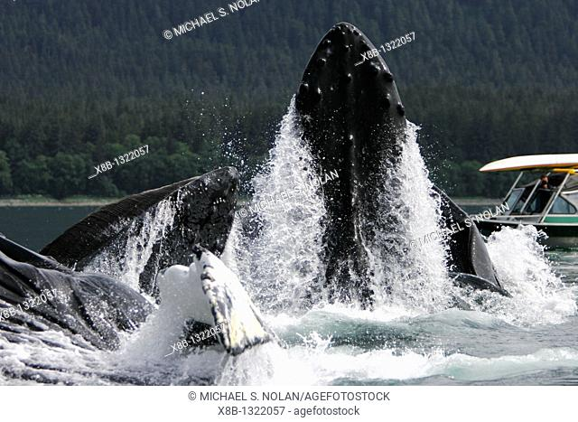 Humpback Whales Megaptera novaeangliae co-operatively bubble-net feeding near small whale watching boat in Stephen's Passage, Southeast Alaska