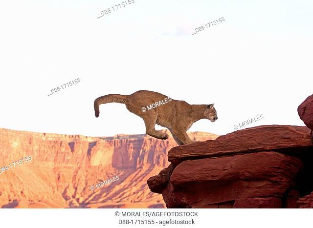United States, Utah, near Moab, Cougar or Mountain Lion  Puma concolor