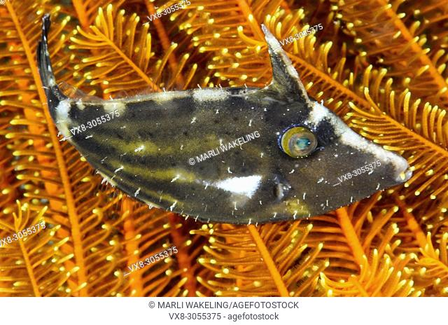Whitebar filefish, Paramonacanthus chlorocephalus, Anilao, Batangas, Philippines, Pacific