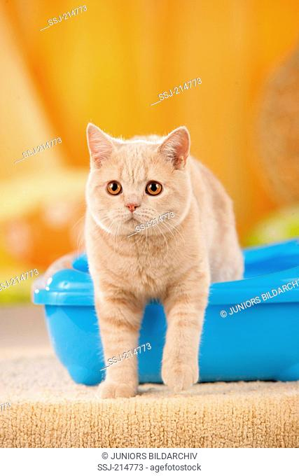 British Shorthair. Red adult leaving cat's litter box. Germany