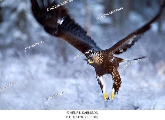 Scandinavia, Sweden, Vasterbotten, View of golden eagle flying, close-up