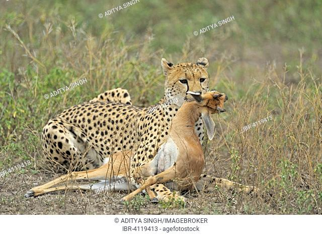 Cheetah (Acinonyx jubatus) with a kill, Ndutu, Ngorongoro Conservation Area, Tanzania