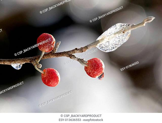 Red berry against a ice crystals