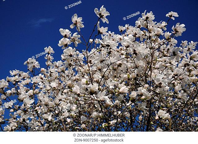 Magnolia x loebneri, Loebners Magnolia