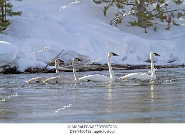 United states , Wyoming-Montana , Yellowstone National Park , Trumpeter Swan  Cygnus buccinator